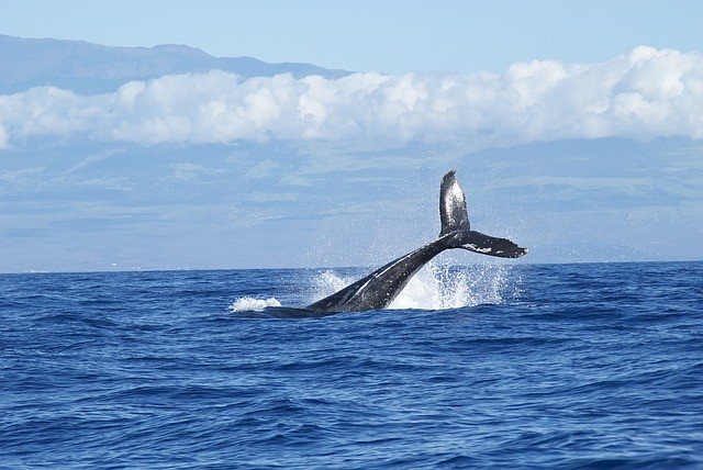 8 Best Big Island (Hawaii) Activities - Whale Watching - https://thejerny.com